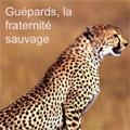Guépards, la fraternité sauvage